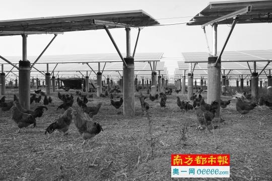 广东织篢项目:上有光伏发电 下有成群养殖